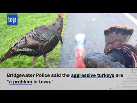 connectYoutube - Aggressive wild turkeys chase resident in Bridgewater, Mass.