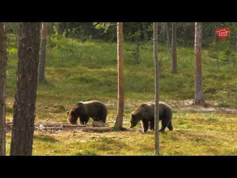 Brunbjörn - björnspaning i Lofsdalen