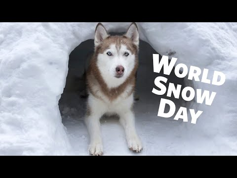 Happy World Snow Day from Laika the Husky!
