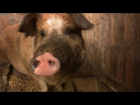 Has Hungary's swine flu epidemic infected its pig population? photo