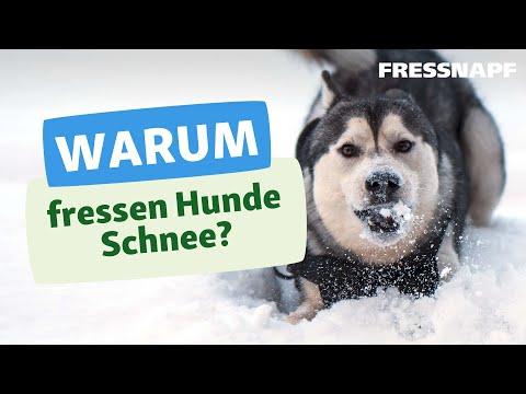 Warum fressen Hunde Schnee?