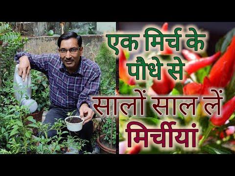 एक मिर्च के पौधे से कैसे सालों साल लें मिर्चीयां / Grow chilli year after year from same plant