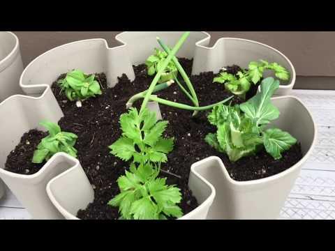 Get FREE Seeds from Regrowing Veggie Scraps!