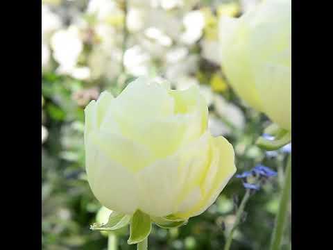 Lunds blommor inspireras av jazzlåten Moonlight Serenade
