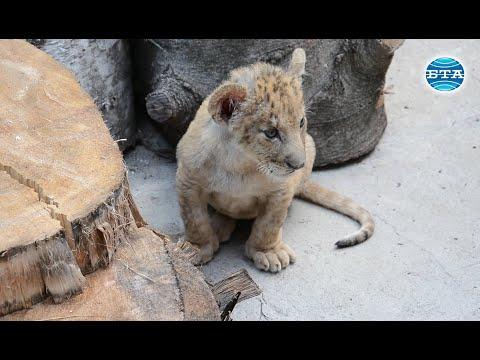 BTA:Две малки лъвчета са новите обитатели на варненския зоопарк