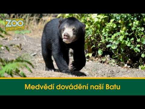 Medvědí dovádění naší Batu