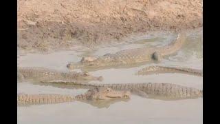 Tragedia ambiental en Arauca: sequía está matando a más de mil babillas