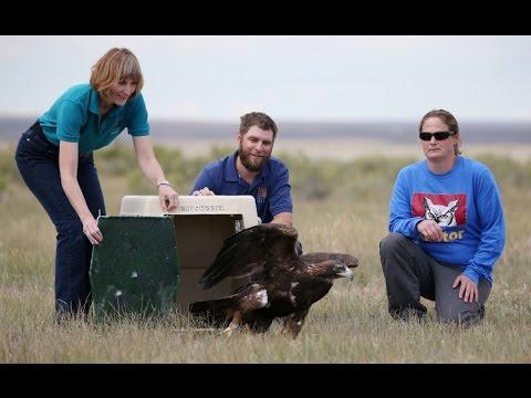Release of golden eagle