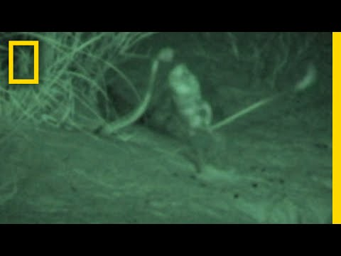 Watch a Kangaroo Rat Jump-Kick a Snake to Escape | National Geographic