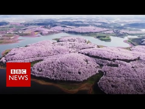 connectYoutube - Drone captures stunning China blossoms - BBC News