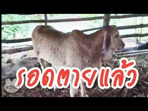 มาดูอาการวัวหลังจากทา--กำมะถัน