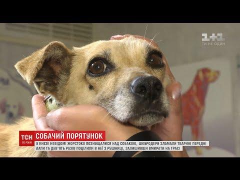 Ветеринари врятували собаку, якій шкуродери зламали лапи і 9 разів вистрелили з рушниці