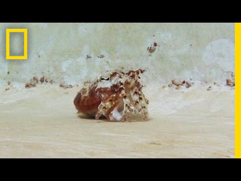 This Sea Creature Does an Awesome Hermit Crab Impression   National Geographic
