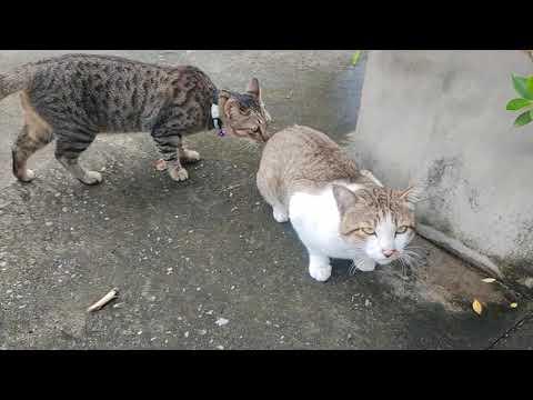 #แมว-#ทาสแมว-🔴แมวมาดักรอทุกวัน