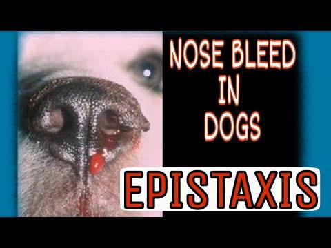 Nose Bleeding in Dogs | Epistaxis problem and solutions |  डॉग के नाक से खून निकले तो क�या करें ?