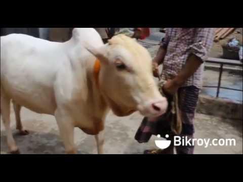 মিরকাদিমের গরু (হাসা): Bikroy দিচ্ছে স্পেশাল কুরবানীর পশু ৭০% ডিসকাউন্টে!