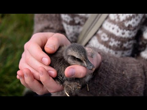 Are eiderdown feathers the best form of feather recycling?