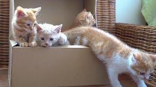 子猫 遊ぶ時間『子猫たちが兄妹そろっての最後の遊びの時間』などなど