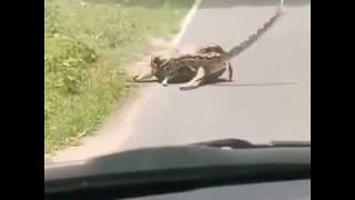 رجل ينقذ غزال من أفعى حاولت قتلها