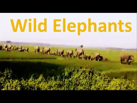 More than fifty wild elephants of Dalma Hill crossing across the paddy fields