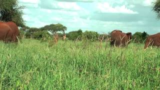 Kenya wildlife - Red Elephants in Tsavo National Park