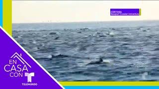 Mira a más de mil delfines nadar en las costas del Pacífico | Telemundo