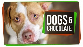 Why Can't Dogs Eat Chocolate?