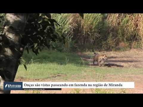 Onças são vistas passeando em fazenda na região de Miranda