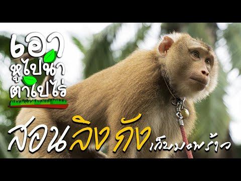 EP.8-วิถีชาวบ้านกับลิงกังเก็บม