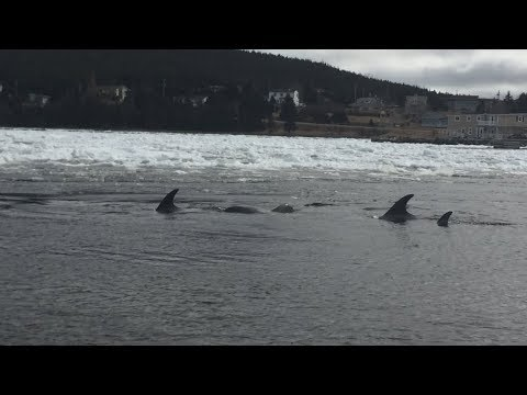 Dolphins trapped in Newfoundland harbour freed