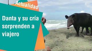 Danta y su cría sorprendieron a un turista en Osa | Actualidad