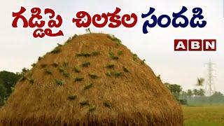 గడ్డిపై చిలకల సందడి || parrots on the grass || ABN Telugu - ABNTELUGUTV