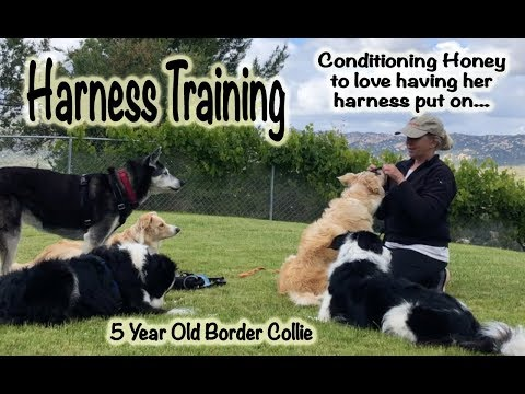 Harness Training: Conditioning Honey to love her harness