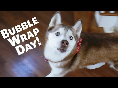 National Bubble Wrap Day with Laika the Husky!