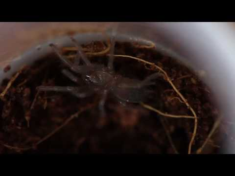 Montserrat tarantulas hatch in 'world first' at Chester Zoo
