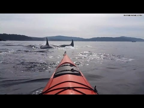 Yikes! 30 killer whales surrounded her kayak!