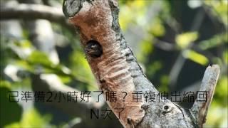 106年小啄木鳥繁殖全記錄