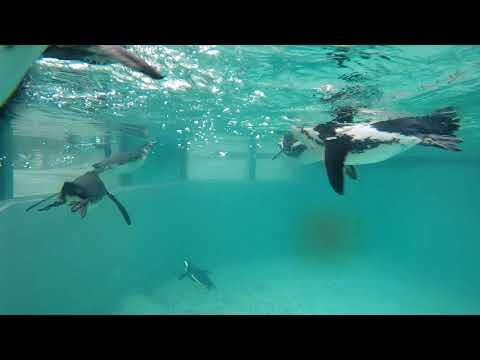 Tučňáci  v nové expozici