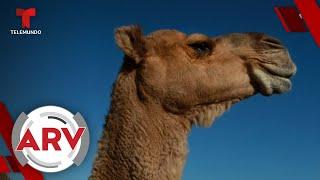 Sacrificarán a 10 mil camellos porque consumen mucha agua | Al Rojo Vivo | Telemundo