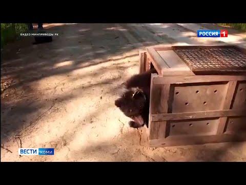 Медведица Пужа вернулась в Коми