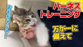 子猫 ハーネス『【猫】子猫のハーネストレーニング:37日目【Kitten】』などなど