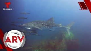 Primera especie extinta del 2020: Uno de los peces más grandes del mundo | Al Rojo Vivo | Telemundo