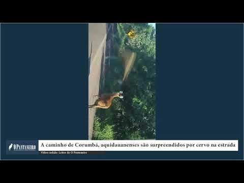 A caminho de Corumbá, aquidauanenses são surpreendidos por cervo na estrada