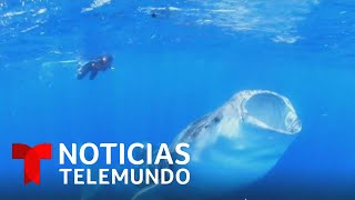 Luchan para salvar el tiburón ballena que está en peligro de extinción   Noticias Telemundo
