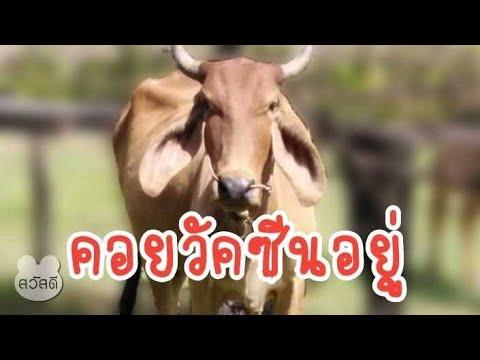 มาดูวัวน้อยหลังจากติดโรคลัมปิส