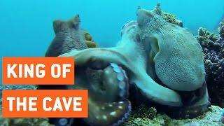 Octopus Fighting | Sneak Attack