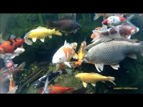 Download youtube to mp3 carpes ko et poissons de bassin for Bassin a poisson youtube
