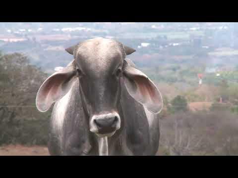 SENASA diagnosticó el primer brote de rabia bovina de este año
