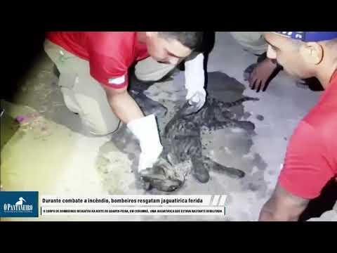 Durante combate a incêndio, bombeiros resgatam jaguatirica ferida 1