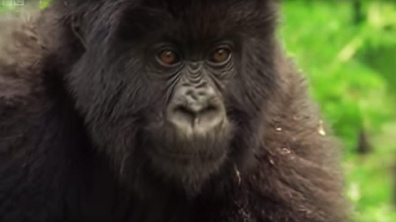 Family of Mountain Gorillas - Cousins - BBC